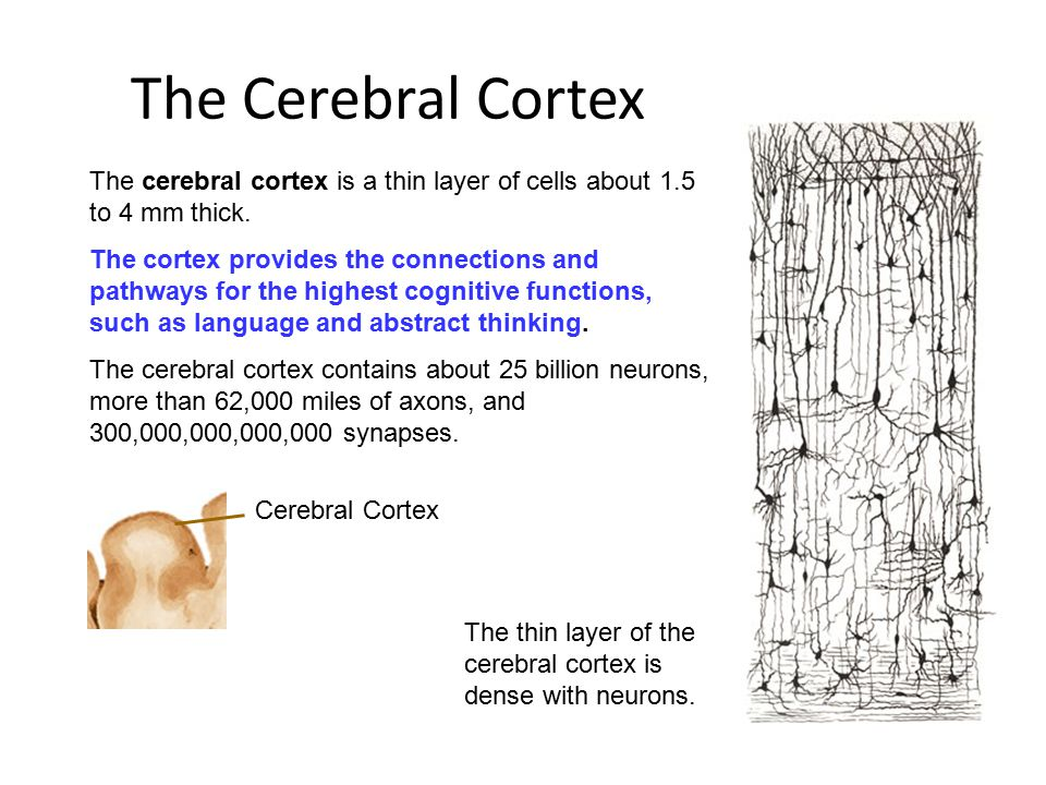 The Cerebral Cortex The cerebral cortex is a thin layer of cells about 1.5 to 4 mm thick.