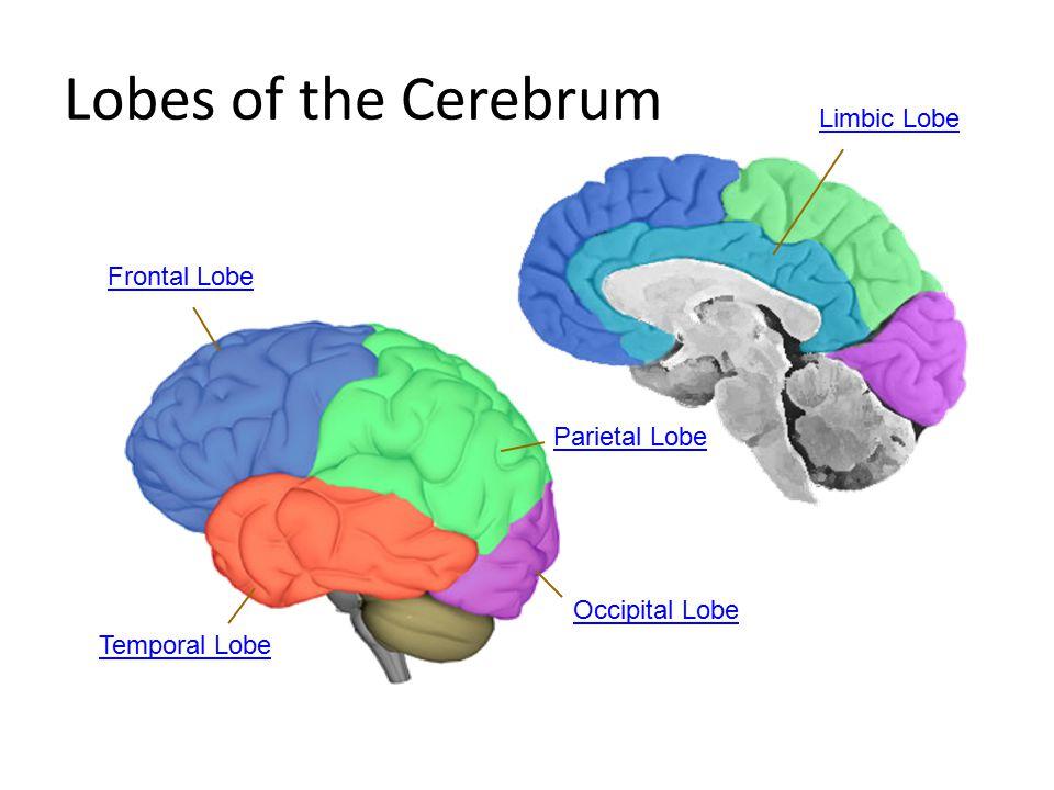 Lobes of the Cerebrum Parietal Lobe Temporal Lobe Frontal Lobe Limbic Lobe Occipital Lobe
