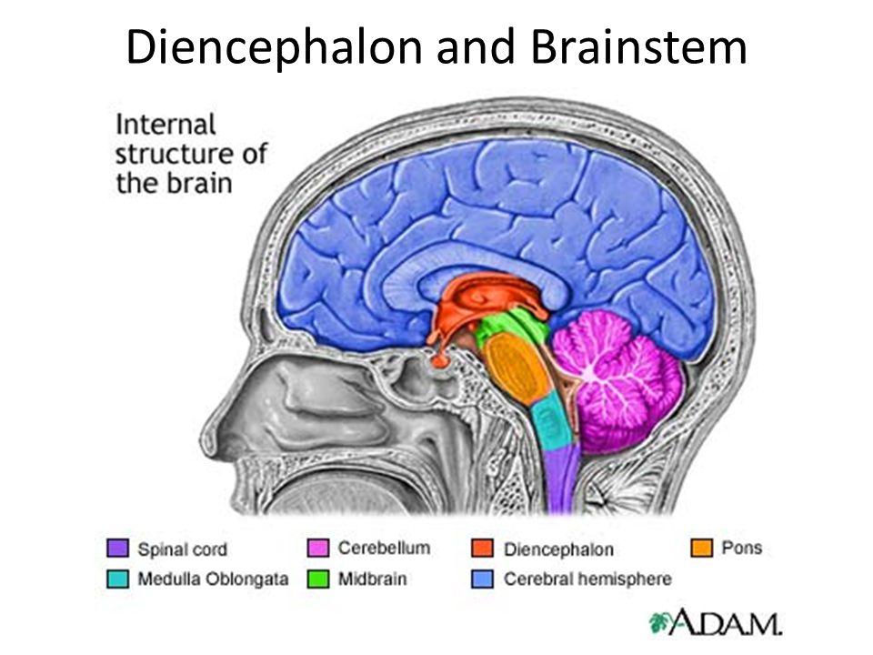 Diencephalon and Brainstem