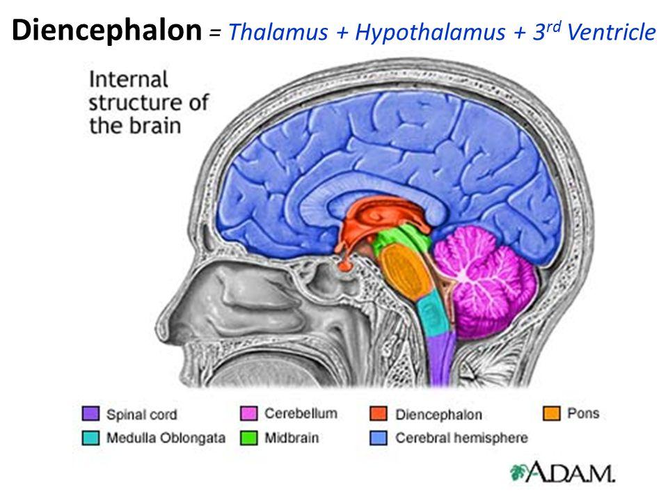 Diencephalon = Thalamus + Hypothalamus + 3 rd Ventricle