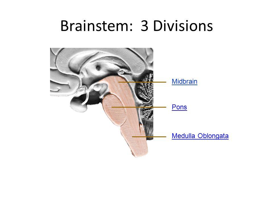 Brainstem: 3 Divisions Midbrain Pons Medulla Oblongata