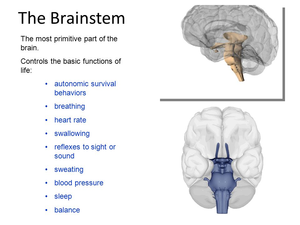The Brainstem The most primitive part of the brain.