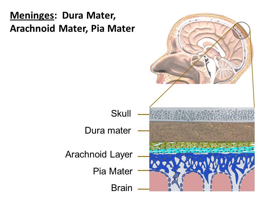Skull Dura mater Arachnoid Layer Pia Mater Brain