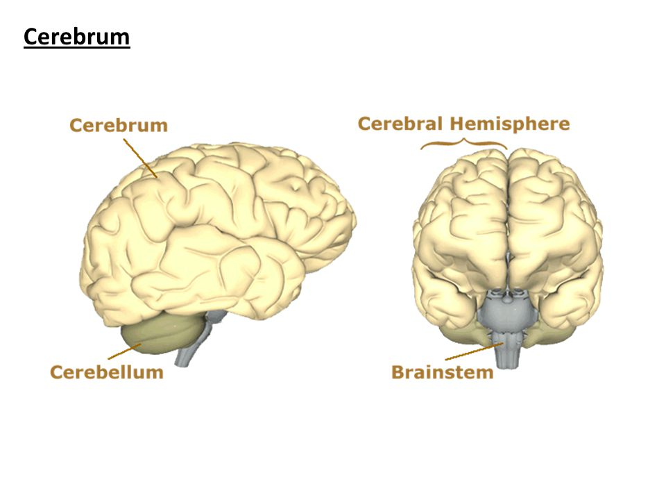 Hypothalamus The hypothalamus sits under the thalamus at the top of the brainstem.