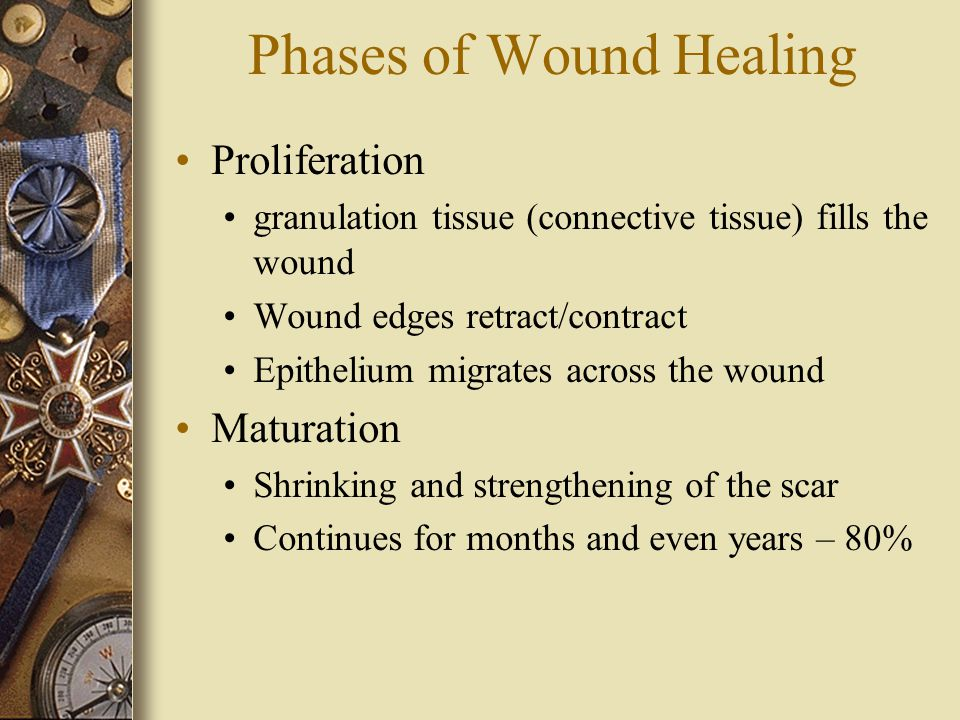 Phases of Wound Healing Proliferation granulation tissue (connective tissue) fills the wound Wound edges retract/contract Epithelium migrates across the wound Maturation Shrinking and strengthening of the scar Continues for months and even years – 80%