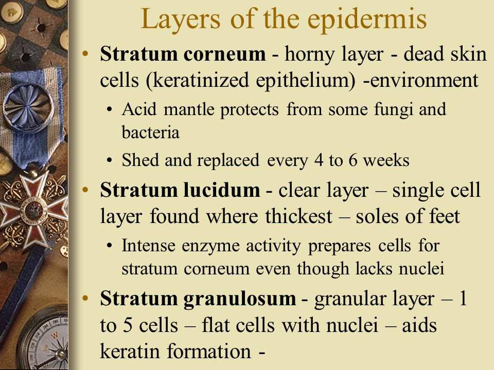 Layers of the epidermis Stratum corneum - horny layer - dead skin cells (keratinized epithelium) -environment Acid mantle protects from some fungi and bacteria Shed and replaced every 4 to 6 weeks Stratum lucidum - clear layer – single cell layer found where thickest – soles of feet Intense enzyme activity prepares cells for stratum corneum even though lacks nuclei Stratum granulosum - granular layer – 1 to 5 cells – flat cells with nuclei – aids keratin formation -
