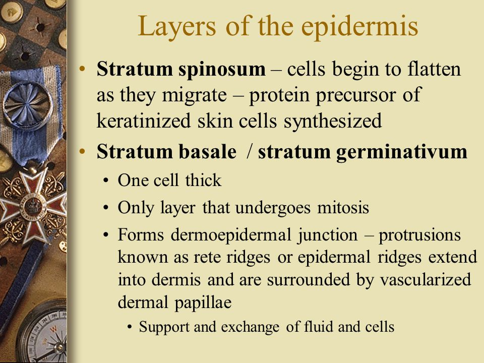 Layers of the epidermis Stratum spinosum – cells begin to flatten as they migrate – protein precursor of keratinized skin cells synthesized Stratum basale / stratum germinativum One cell thick Only layer that undergoes mitosis Forms dermoepidermal junction – protrusions known as rete ridges or epidermal ridges extend into dermis and are surrounded by vascularized dermal papillae Support and exchange of fluid and cells