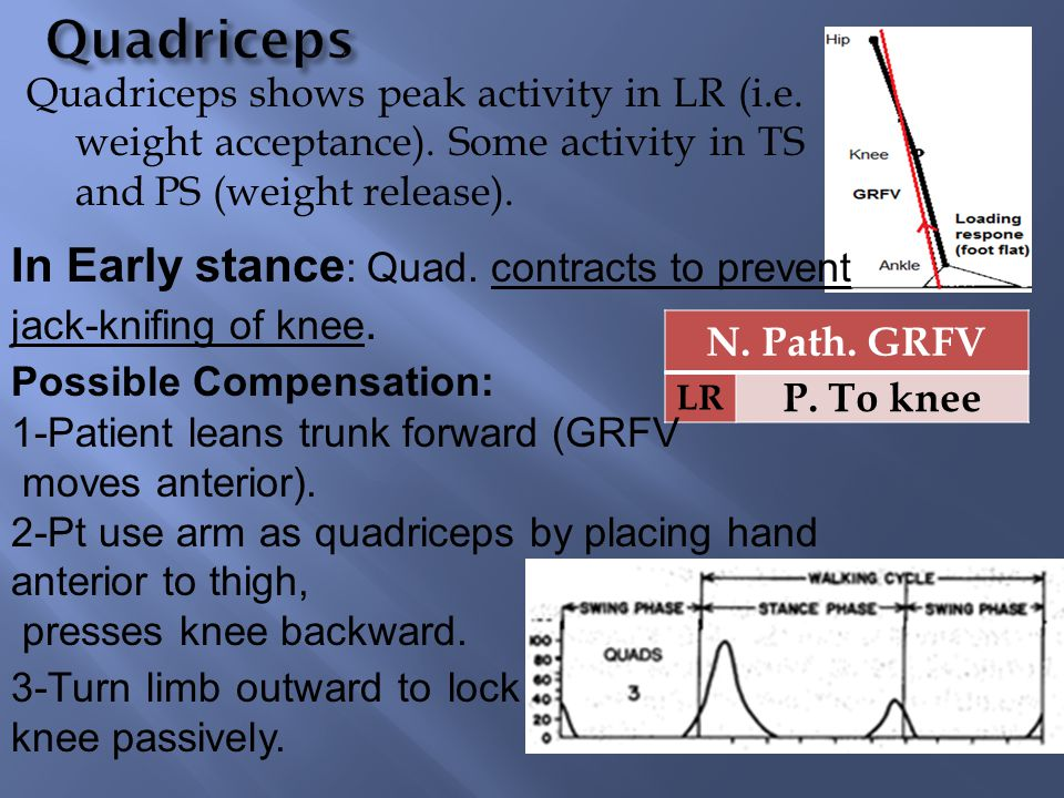 Quadriceps shows peak activity in LR (i.e. weight acceptance). Some activity in TS and PS (weight release). N. Path. GRFV LR P. To knee In Early stanc