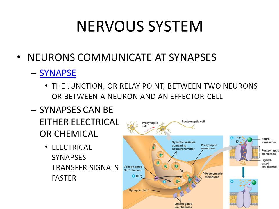NERVOUS SYSTEM NEURONS COMMUNICATE AT SYNAPSES – SYNAPSE SYNAPSE THE JUNCTION, OR RELAY POINT, BETWEEN TWO NEURONS OR BETWEEN A NEURON AND AN EFFECTOR