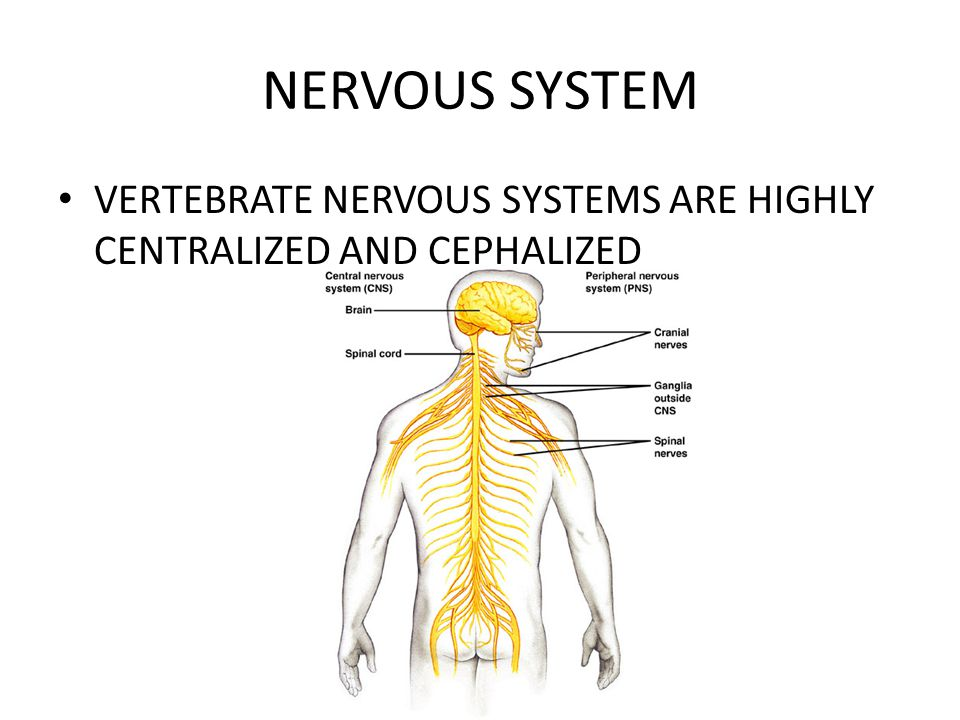 NERVOUS SYSTEM VERTEBRATE NERVOUS SYSTEMS ARE HIGHLY CENTRALIZED AND CEPHALIZED