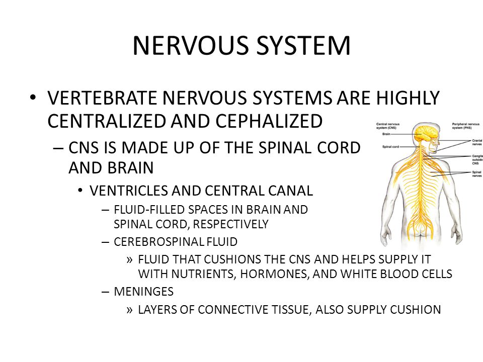 NERVOUS SYSTEM VERTEBRATE NERVOUS SYSTEMS ARE HIGHLY CENTRALIZED AND CEPHALIZED – CNS IS MADE UP OF THE SPINAL CORD AND BRAIN VENTRICLES AND CENTRAL C