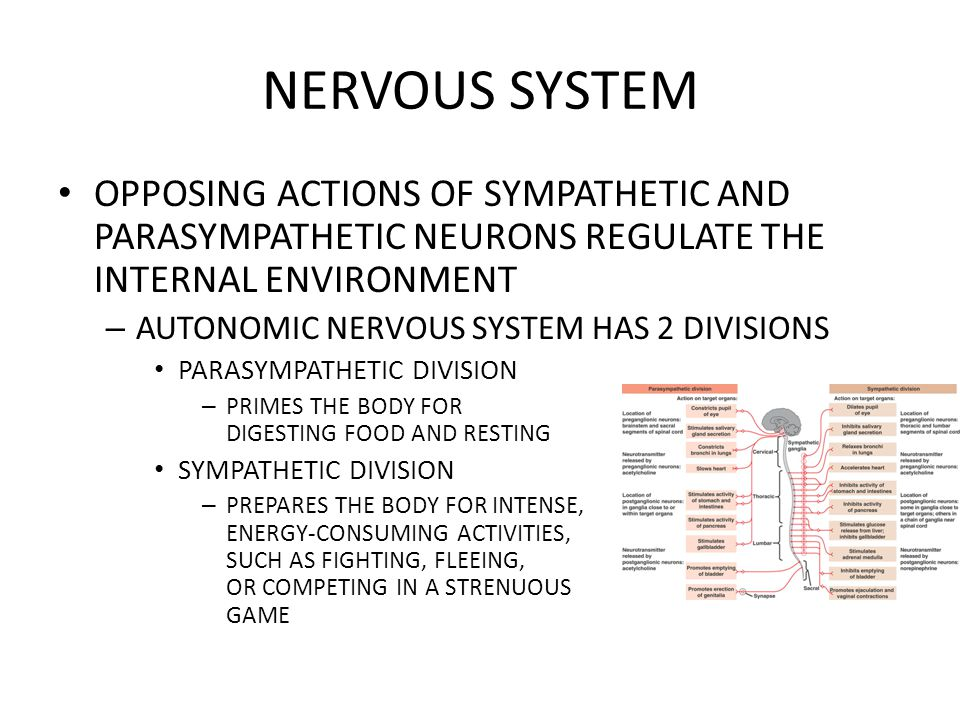 NERVOUS SYSTEM OPPOSING ACTIONS OF SYMPATHETIC AND PARASYMPATHETIC NEURONS REGULATE THE INTERNAL ENVIRONMENT – AUTONOMIC NERVOUS SYSTEM HAS 2 DIVISION