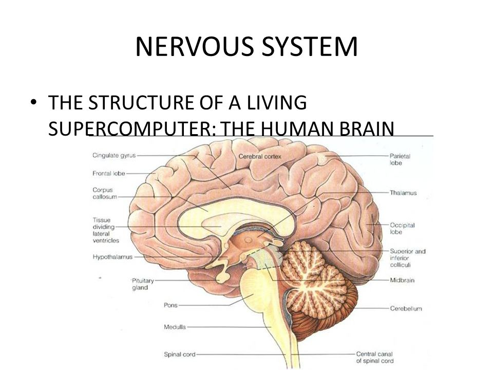 NERVOUS SYSTEM THE STRUCTURE OF A LIVING SUPERCOMPUTER: THE HUMAN BRAIN