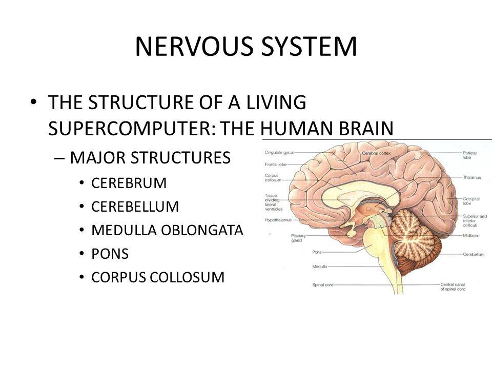 NERVOUS SYSTEM THE STRUCTURE OF A LIVING SUPERCOMPUTER: THE HUMAN BRAIN – MAJOR STRUCTURES CEREBRUM CEREBELLUM MEDULLA OBLONGATA PONS CORPUS COLLOSUM