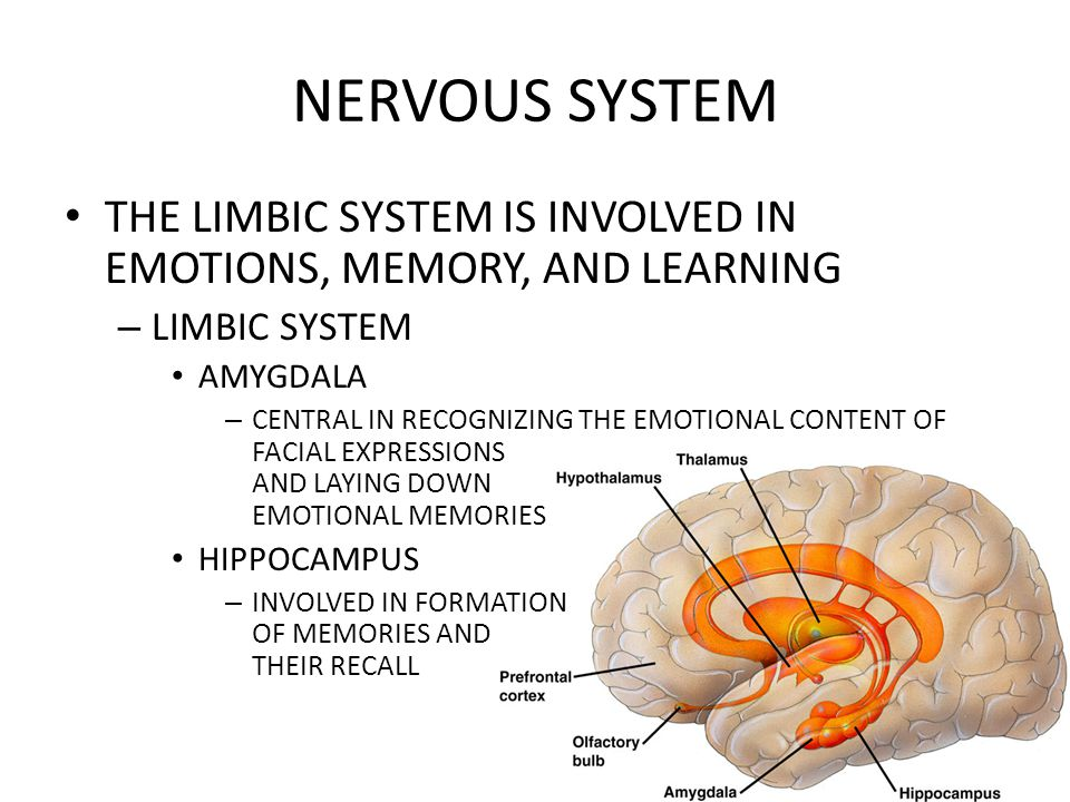 NERVOUS SYSTEM THE LIMBIC SYSTEM IS INVOLVED IN EMOTIONS, MEMORY, AND LEARNING – LIMBIC SYSTEM AMYGDALA – CENTRAL IN RECOGNIZING THE EMOTIONAL CONTENT