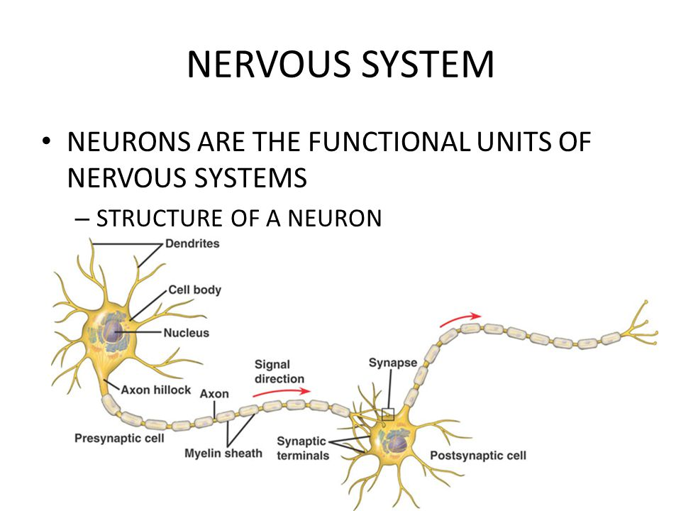 NERVOUS SYSTEM NEURONS ARE THE FUNCTIONAL UNITS OF NERVOUS SYSTEMS – STRUCTURE OF A NEURON
