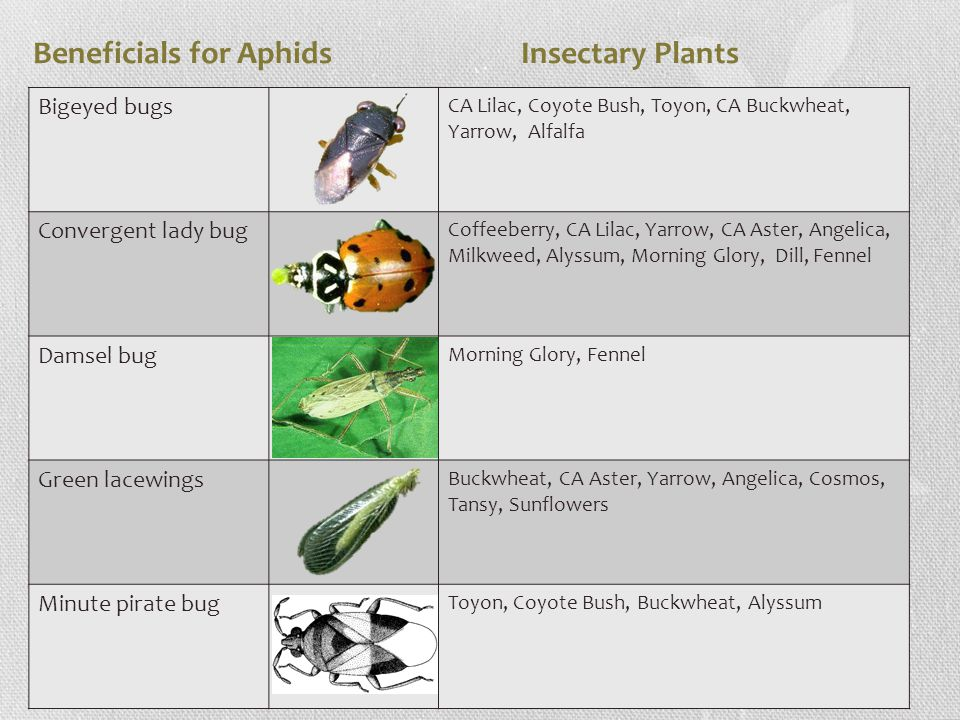 Beneficials for Aphids Insectary Plants Bigeyed bugs CA Lilac, Coyote Bush, Toyon, CA Buckwheat, Yarrow, Alfalfa Convergent lady bug Coffeeberry, CA Lilac, Yarrow, CA Aster, Angelica, Milkweed, Alyssum, Morning Glory, Dill, Fennel Damsel bug Morning Glory, Fennel Green lacewings Buckwheat, CA Aster, Yarrow, Angelica, Cosmos, Tansy, Sunflowers Minute pirate bug Toyon, Coyote Bush, Buckwheat, Alyssum