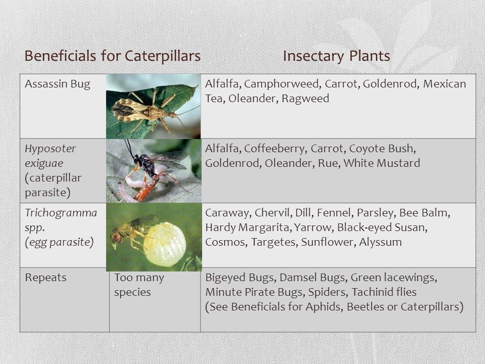 Beneficials for Caterpillars Insectary Plants Assassin BugAlfalfa, Camphorweed, Carrot, Goldenrod, Mexican Tea, Oleander, Ragweed Hyposoter exiguae (caterpillar parasite) Alfalfa, Coffeeberry, Carrot, Coyote Bush, Goldenrod, Oleander, Rue, White Mustard Trichogramma spp.