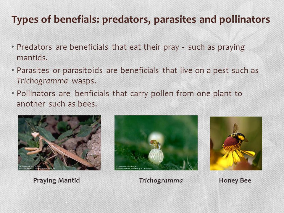 Predators are beneficials that eat their pray - such as praying mantids.