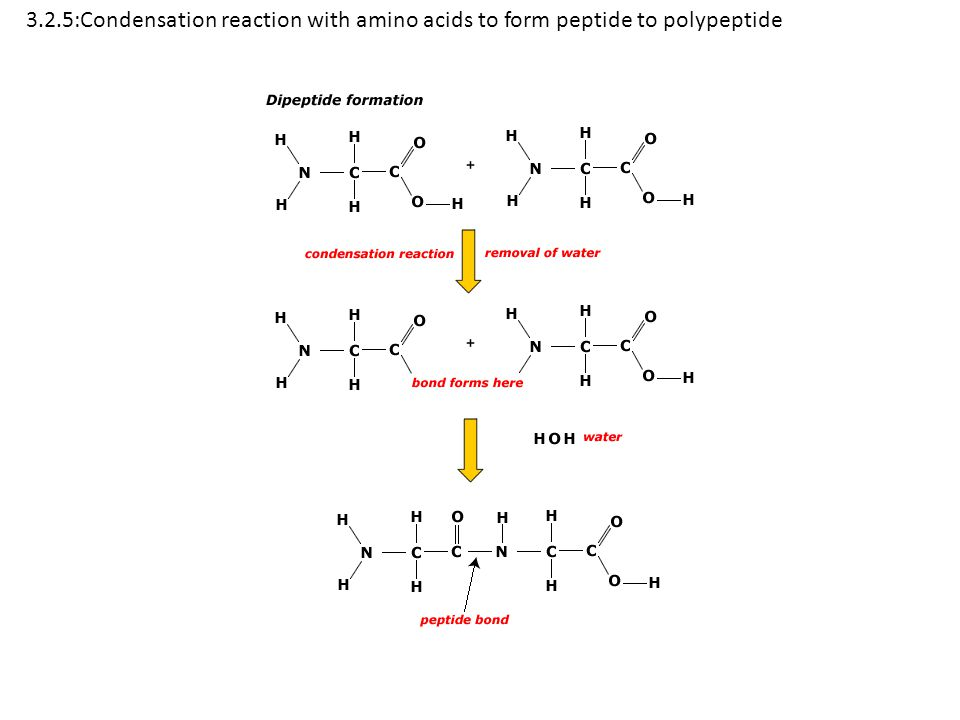3.2.5:Condensation reaction with amino acids to form peptide to polypeptide