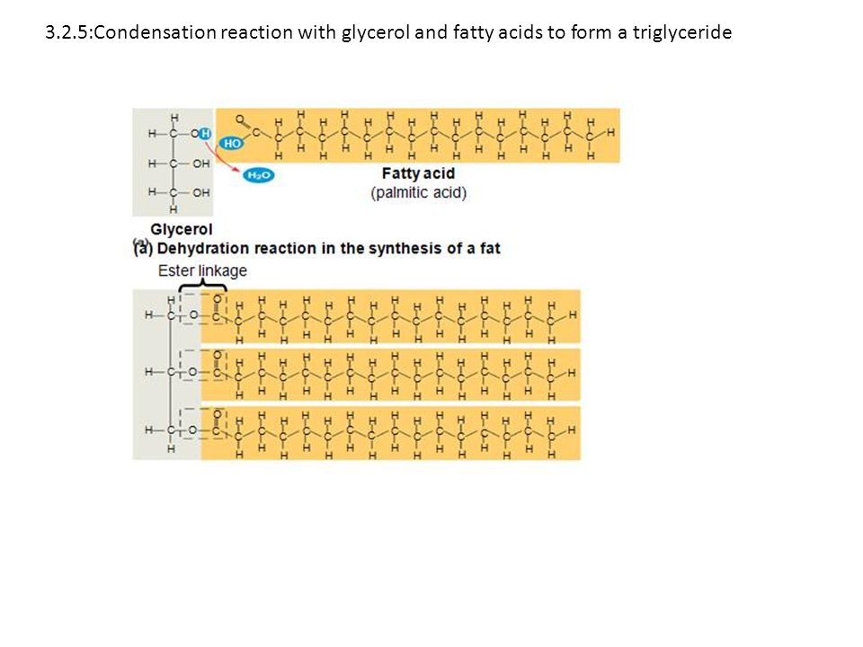 3.2.5:Condensation reaction with glycerol and fatty acids to form a triglyceride