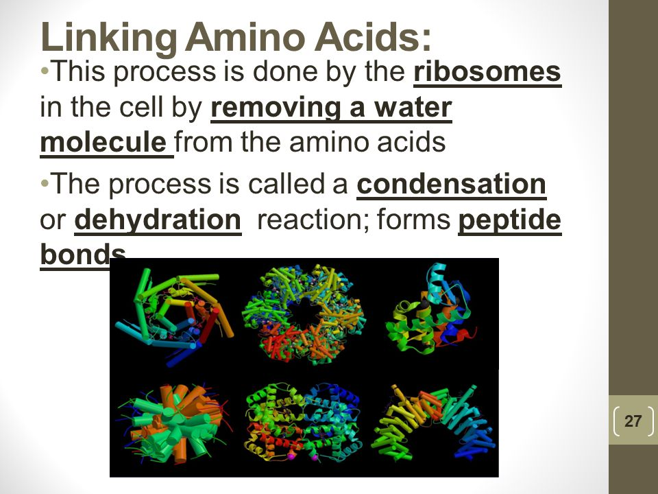 Linking Amino Acids: This process is done by the ribosomes in the cell by removing a water molecule from the amino acids The process is called a conde