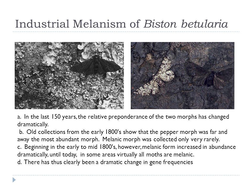 Industrial Melanism of Biston betularia a. In the last 150 years, the relative preponderance of the two morphs has changed dramatically. b. Old collec