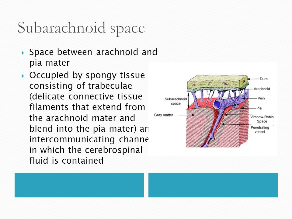  Space between arachnoid and pia mater  Occupied by spongy tissue consisting of trabeculae (delicate connective tissue filaments that extend from th