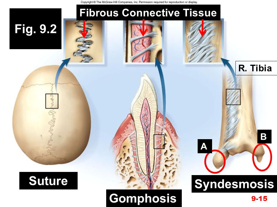 Fig. 9.2 Suture Gomphosis Syndesmosis 9-15 Fibrous Connective Tissue A B R. Tibia