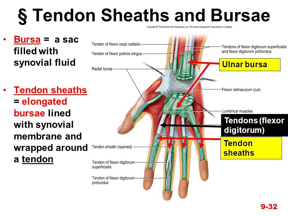 9-32 § Tendon Sheaths and Bursae Bursa = a sac filled with synovial fluid Tendon sheaths = elongated bursae lined with synovial membrane and wrapped a