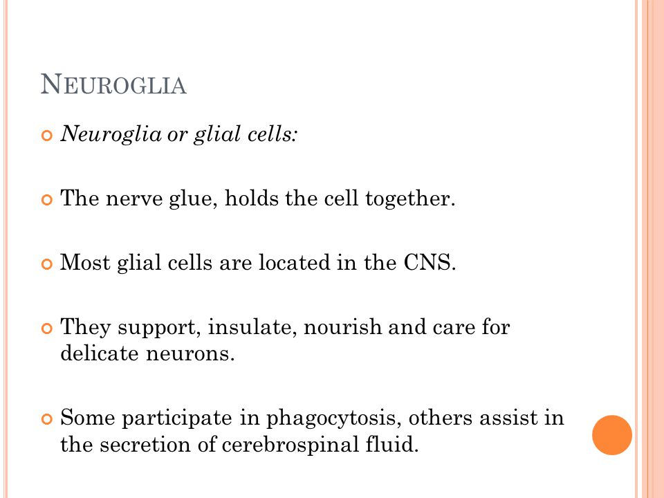 N EUROGLIA Neuroglia or glial cells: The nerve glue, holds the cell together.