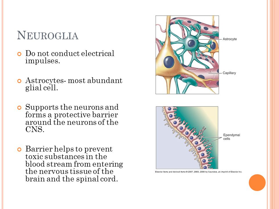 N EUROGLIA Do not conduct electrical impulses. Astrocytes- most abundant glial cell.