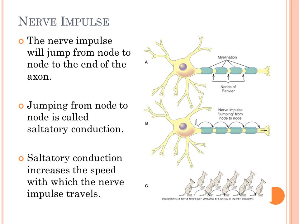N ERVE I MPULSE The nerve impulse will jump from node to node to the end of the axon.