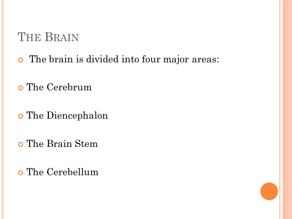The brain is divided into four major areas: The Cerebrum The Diencephalon The Brain Stem The Cerebellum