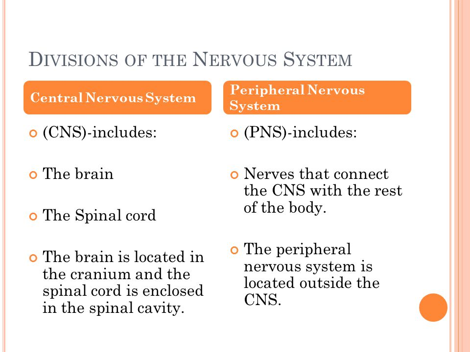D IVISIONS OF THE N ERVOUS S YSTEM (CNS)-includes: The brain The Spinal cord The brain is located in the cranium and the spinal cord is enclosed in the spinal cavity.