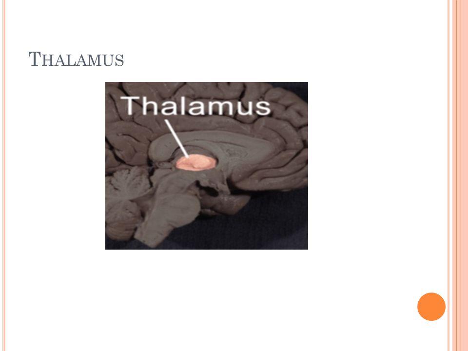 T HALAMUS