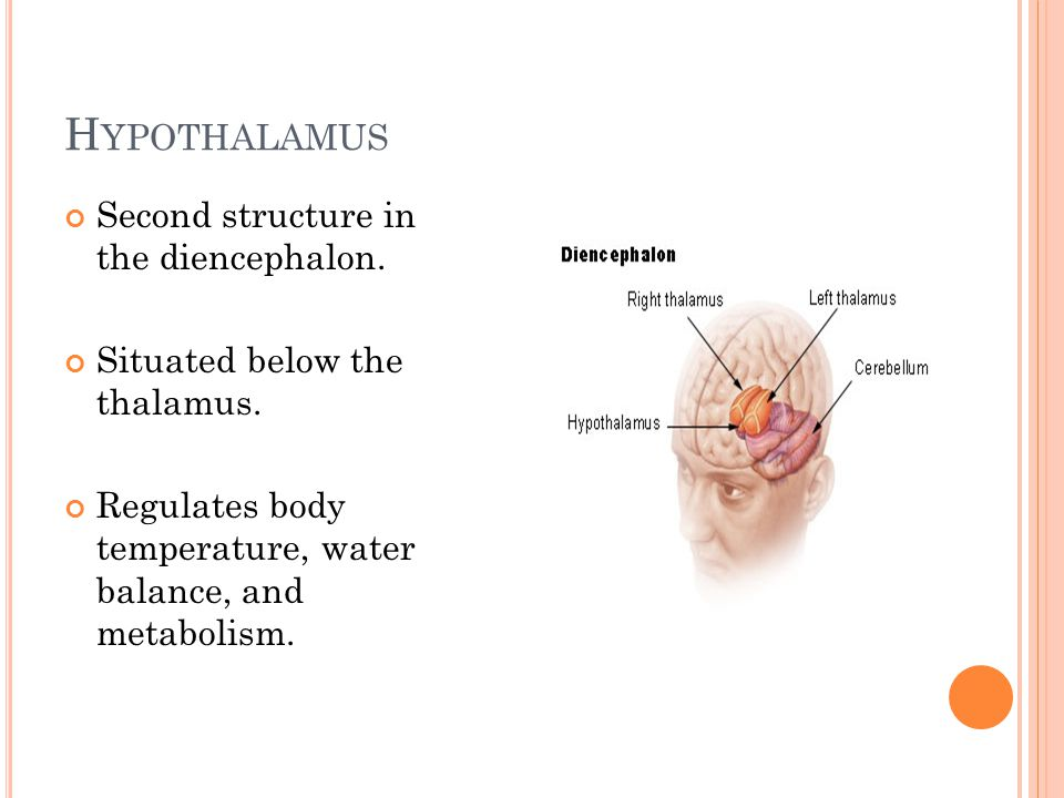 H YPOTHALAMUS Second structure in the diencephalon.