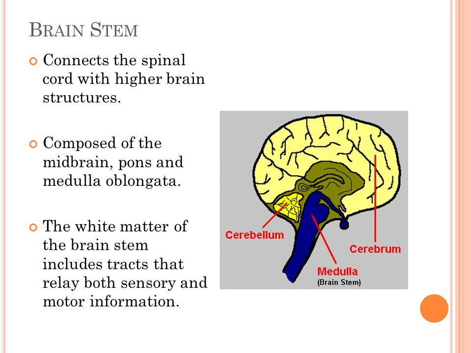 B RAIN S TEM Connects the spinal cord with higher brain structures.