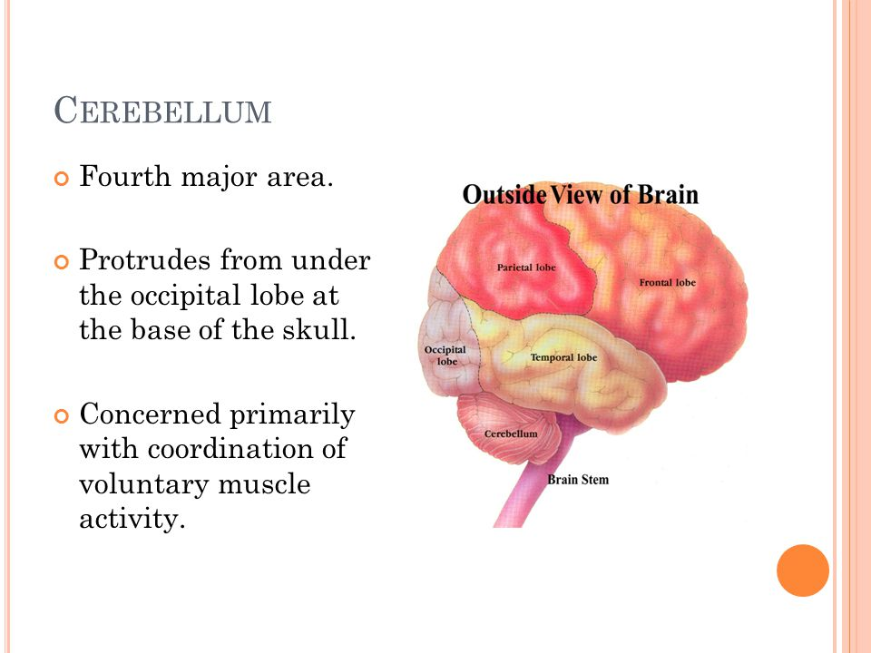 C EREBELLUM Fourth major area. Protrudes from under the occipital lobe at the base of the skull.
