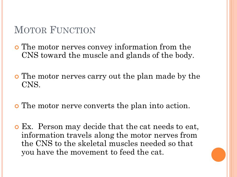 M OTOR F UNCTION The motor nerves convey information from the CNS toward the muscle and glands of the body.