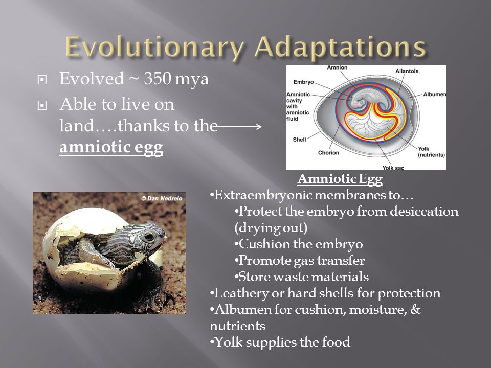  Evolved ~ 350 mya  Able to live on land….thanks to the amniotic egg Amniotic Egg Extraembryonic membranes to… Protect the embryo from desiccation (