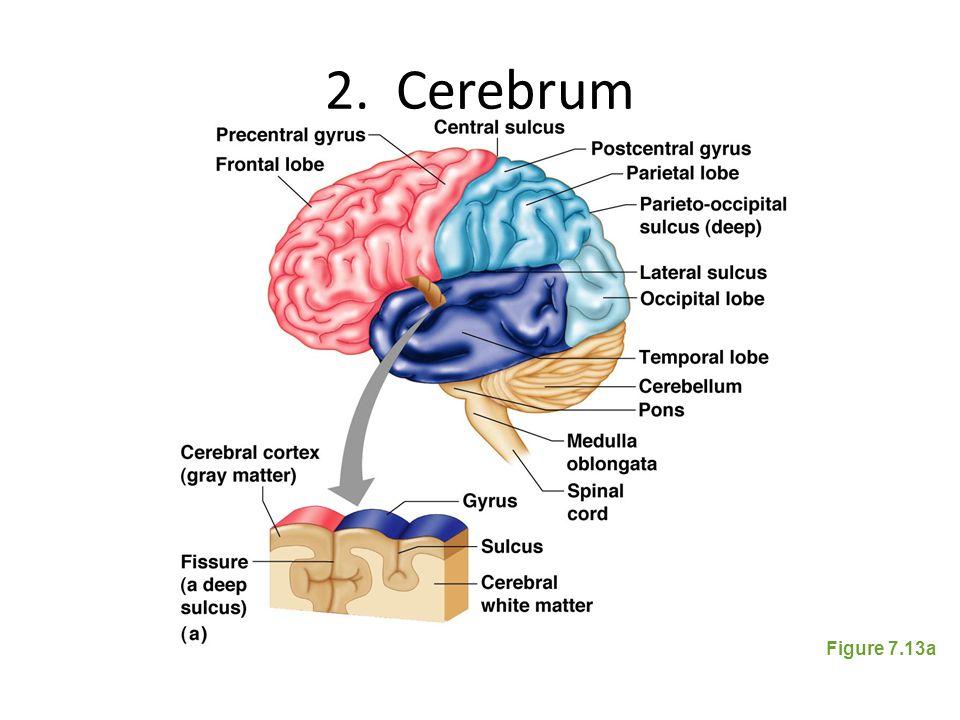 2. Cerebrum Figure 7.13a