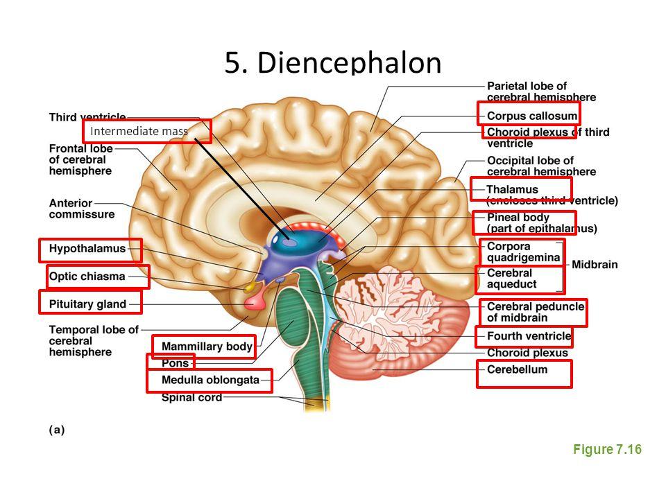 5. Diencephalon Figure 7.16 Intermediate mass