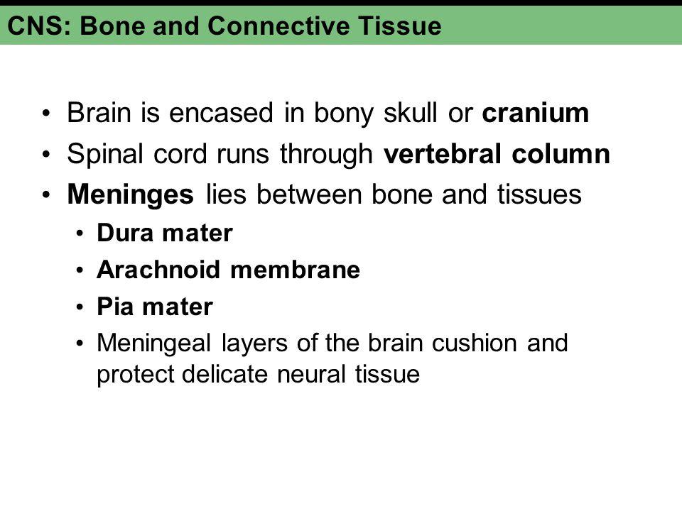 CNS: Bone and Connective Tissue Brain is encased in bony skull or cranium Spinal cord runs through vertebral column Meninges lies between bone and tis