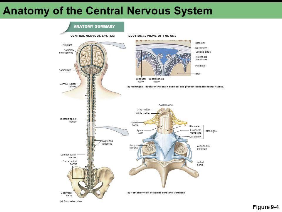 Anatomy of the Central Nervous System Figure 9-4 Cerebral hemispheres Cerebellum Cranium Cervical spinal nerves Cranium Dura mater Subdural space Suba