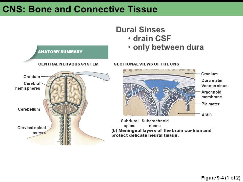 CNS: Bone and Connective Tissue Figure 9-4 (1 of 2) Cerebral hemispheres Cerebellum Cranium Cervical spinal nerves Cranium Dura mater Subdural space S