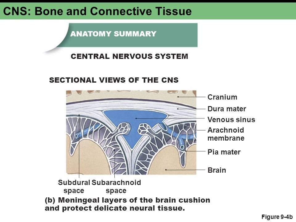 CNS: Bone and Connective Tissue Figure 9-4b Cranium Dura mater Subdural space Subarachnoid space Pia mater Arachnoid membrane Brain (b) Meningeal laye