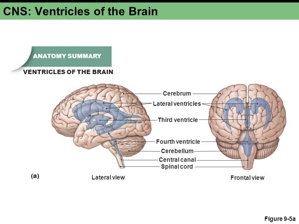 CNS: Ventricles of the Brain Figure 9-5a ANATOMY SUMMARY VENTRICLES OF THE BRAIN Cerebrum Lateral ventricles Third ventricle Fourth ventricle Cerebell