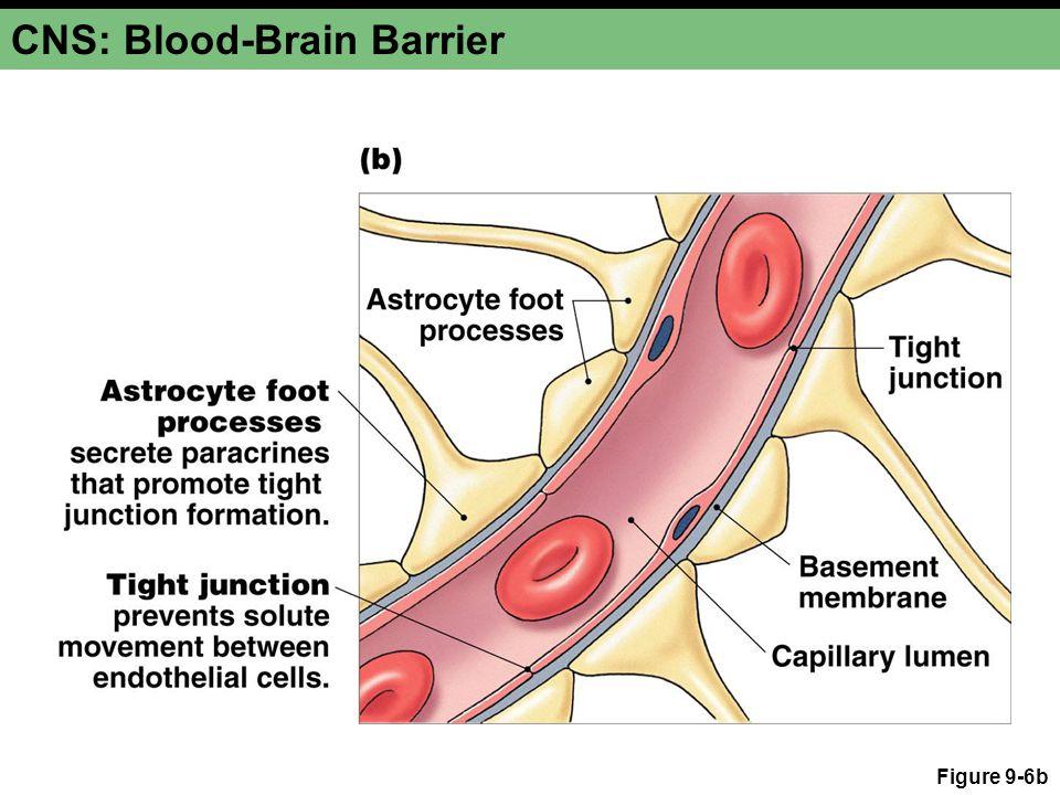 CNS: Blood-Brain Barrier Figure 9-6b