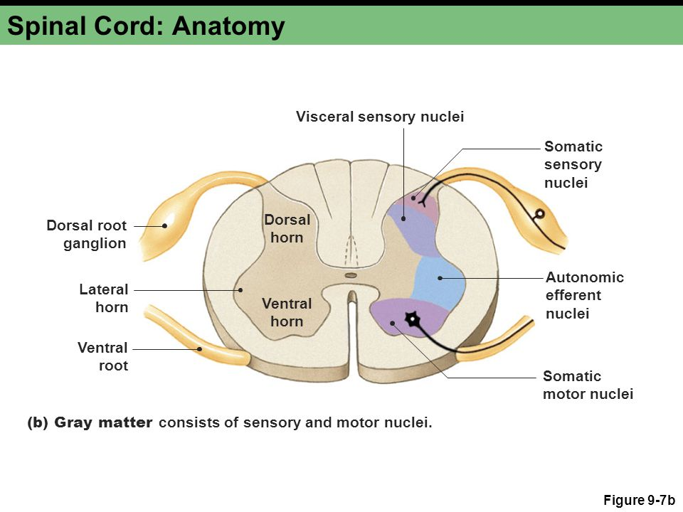 Spinal Cord: Anatomy Figure 9-7b (b) Gray matter consists of sensory and motor nuclei. Dorsal root ganglion Ventral root Ventral horn Lateral horn Dor